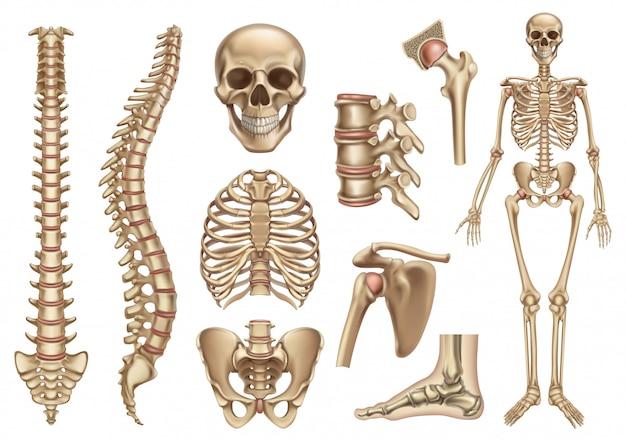 Estrutura do esqueleto humano. crânio, coluna vertebral, caixa torácica, pelve, articulações. anatomia e medicina, conjunto de ícones 3d