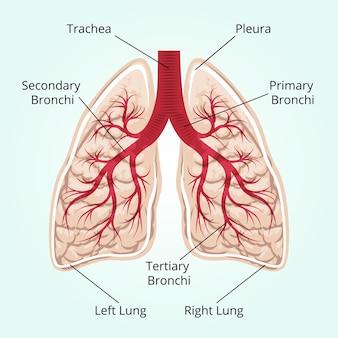 Estrutura dos pulmões. cuidados de saúde e pleura, diafragma e respiração e tórax.