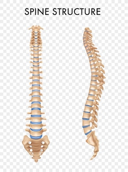 Estrutura isolada da coluna vertebral nas vistas lateral e frontal