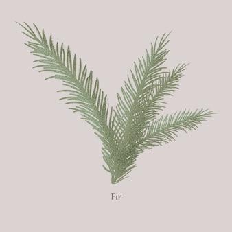 Evergreen abeto, galhos e folhas de agulha.