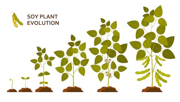 Evolução da planta de soja com folhas, flores e vagens.