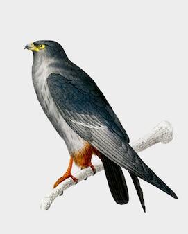 Falcão vermelho-footed