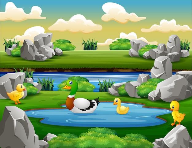 Família de pato nada e brincando no pequeno lago