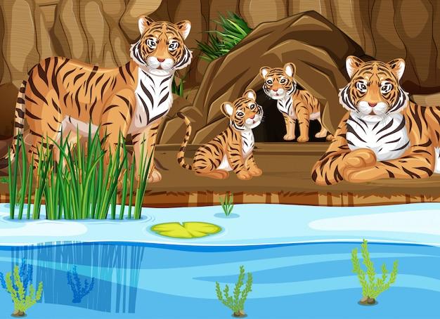 Família tigre à beira da lagoa