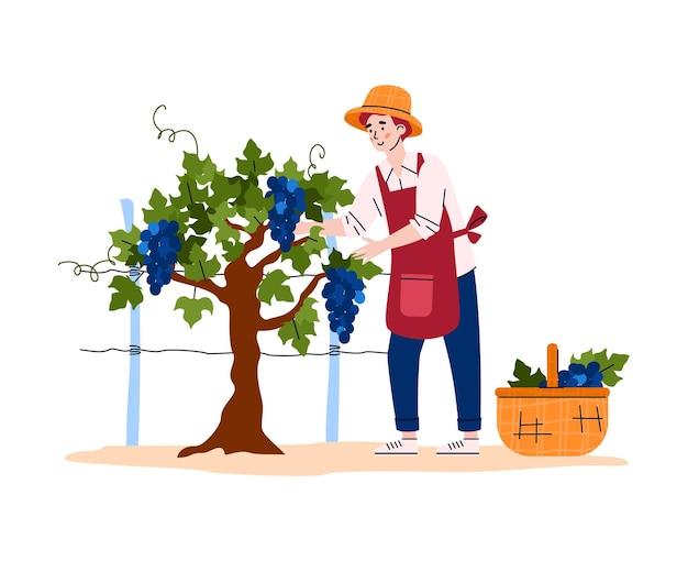 Fazendeiro colhendo uvas para ilustração de produção de vinho