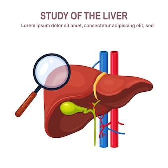 Fígado humano isolado no fundo branco. estudo do órgão interno.