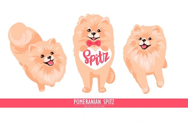 Filhote de cachorro pomeranian spitz isolado no fundo branco.
