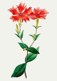 Filial da flor do lychnis do vintage bunge para a decoração