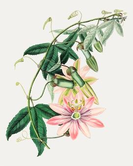 Filial da flor do tacsonia de mrs.marryat do vintage para a decoração