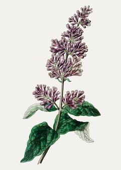 Filial da flor lilás da senhora josika do vintage para a decoração