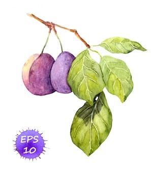 Filial da fruta da ameixa com folhas. ilustração botânica