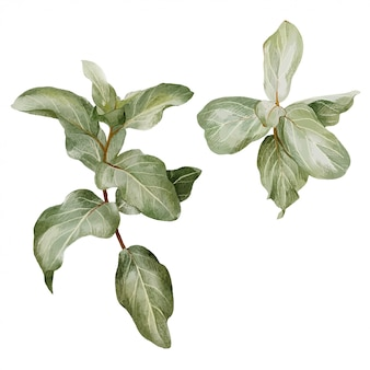Filial de silverberry, conjunto de dois