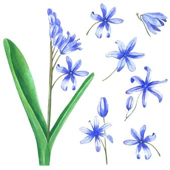 Flor bulbosa da prímula isolada no fundo branco.