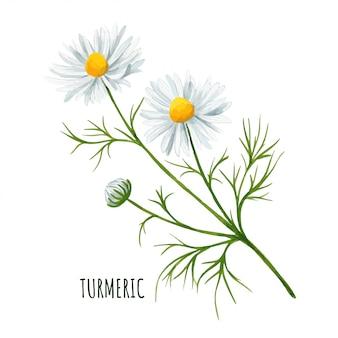 Flor da margarida branca com botão e folhas, flor do campo.