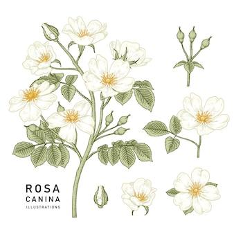 Flor da rosa branca do cão (rosa canina) ilustrações botânicas desenhadas à mão.