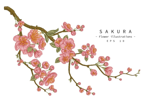 Flor de cerejeira ilustrações botânicas desenhadas à mão.