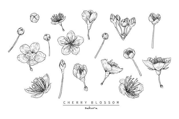 Flor de cerejeira ou desenhos de flores de sakura
