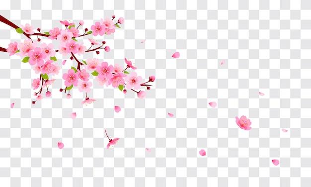 Flor de cerejeira rosa com pétalas caindo sobre fundo transparente.