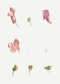 Flor de dragão dissecada
