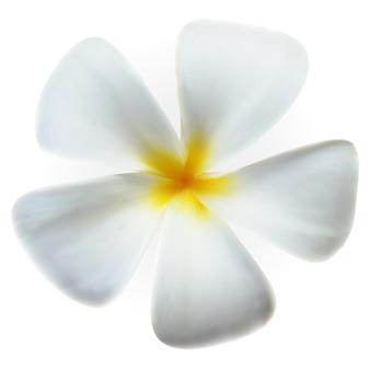 Flor de frangipani isolada em imagem vetorial branca