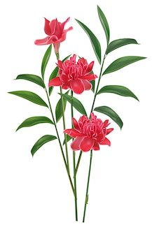 Flor de gengibre tocha