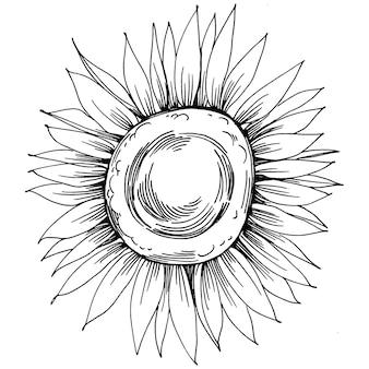 Flor de girassol. flor botânica floral. elemento de ilustração isolado. mão de vetor desenhando flores silvestres para plano de fundo, textura, padrão de invólucro, quadro ou borda.