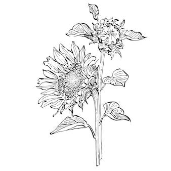 Flor de girassol. flor botânica floral. elemento de ilustração isolado. mão desenhando flores silvestres