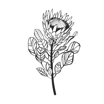 Flor de linha protea out. linhas de contorno desenhadas à mão.
