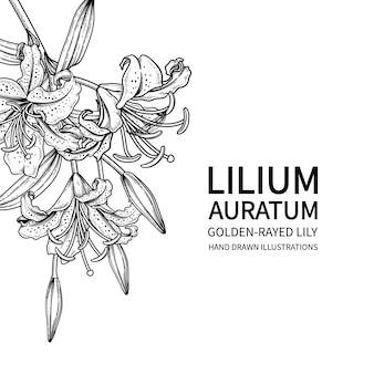 Flor de lírio de raios dourados desenhada de mão (lilium auratum) arte de linha preta isolada em fundos brancos.