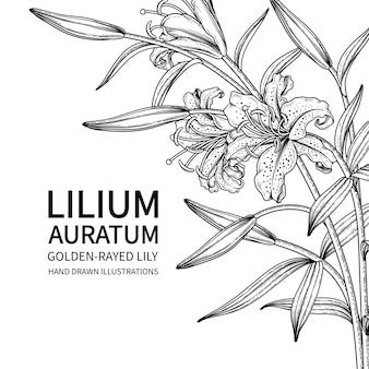 Flor de lírio lilium auratum isolada no branco