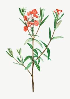Flor de louro de pântano