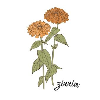 Flor de outono flor zínia desenhada à mão