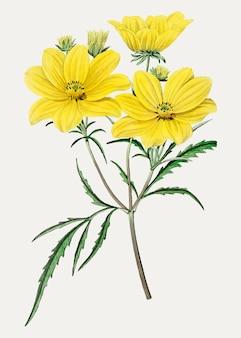 Flor de tickseed