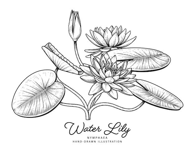 Flor do lírio de água ilustrações botânicas desenhadas à mão.