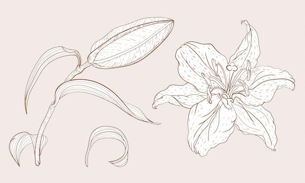 Flor e broto de lírio oriental