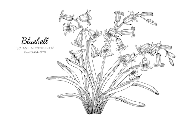 Flor e folha bluebell mão desenhada ilustração botânica com arte de linha.