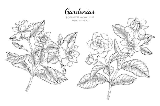 Flor e folha de gardênias desenhadas à mão ilustração botânica com linha artística.