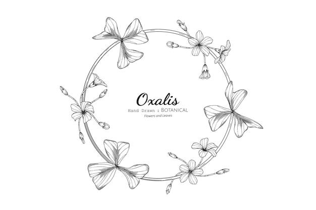 Flor e folha de oxalis mão desenhada ilustração botânica com arte de linha.