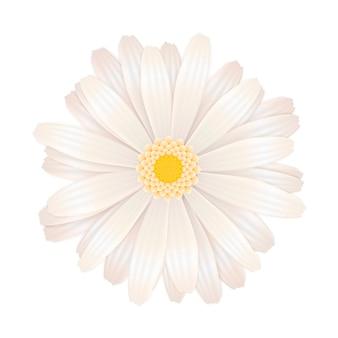 Flor gerbera branca brilhante em branco