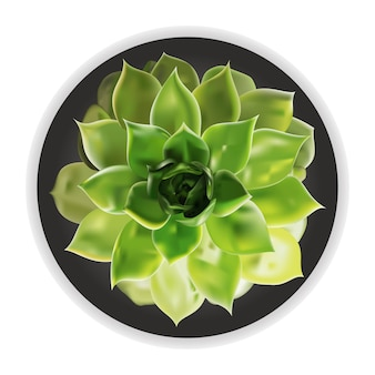 Flor suculenta em vaso isolado no fundo branco.