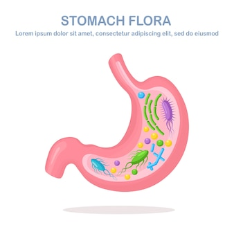 Flora do estômago. sistema digestivo, trato com bactérias, vírus, microrganismos, probióticos em fundo branco. órgãos humanos internos. médica, biologia.