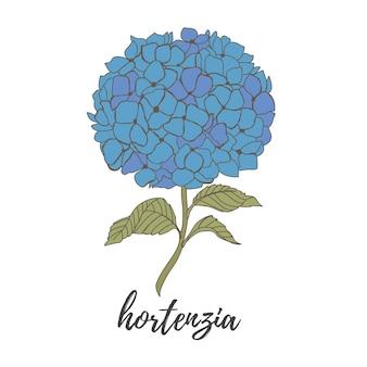 Flores azuis em um fundo branco flor de hortênsia