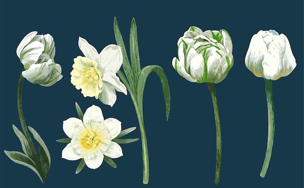 Flores brancas da primavera, tulipas e narcisos, ilustração em aquarela desenhada à mão