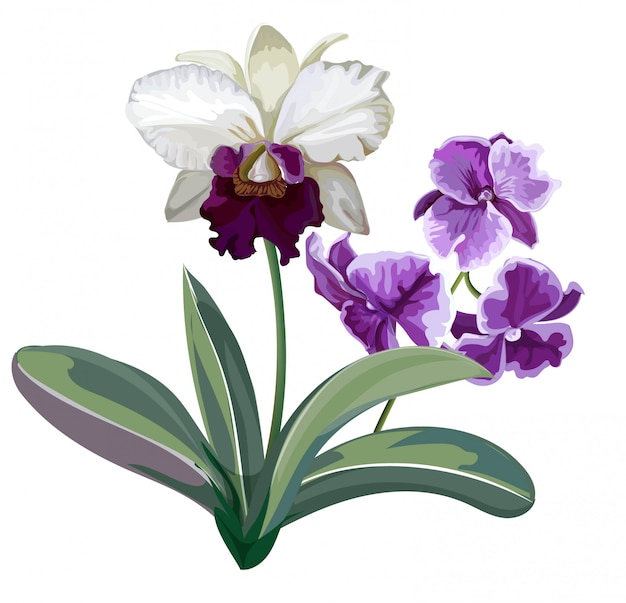 Flores brancas e roxas da orquídea