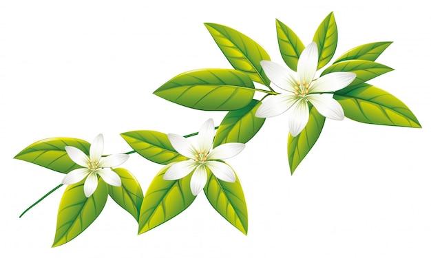 Flores brancas em folhas verdes