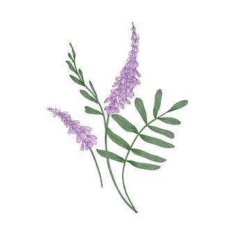 Flores de alcaçuz isoladas
