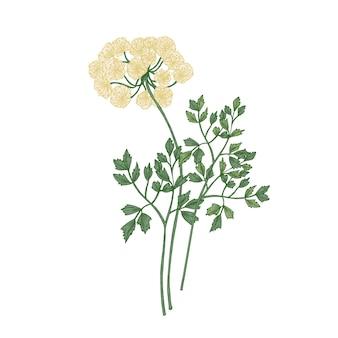 Flores de gálbano isoladas