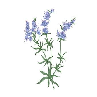 Flores de hissopo ou inflorescências isoladas em branco