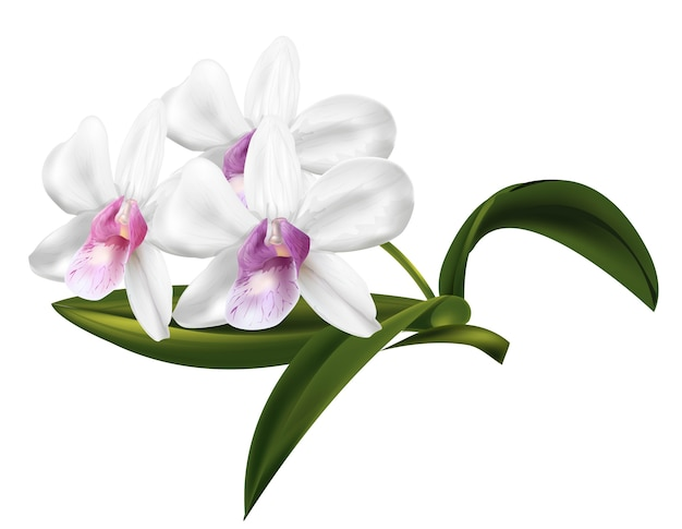 Flores de orquídea dendrobium