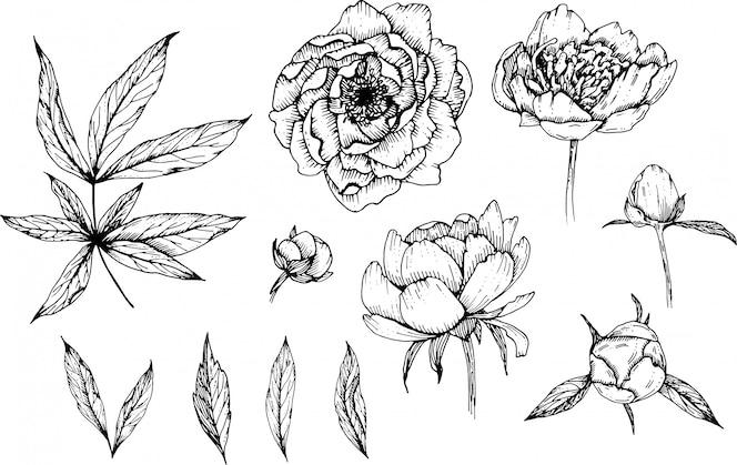 Flores de peônia desenhadas à mão, diy doodle flores